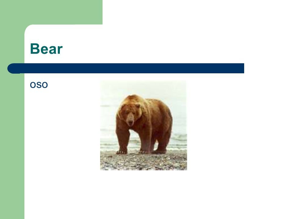 Bear oso