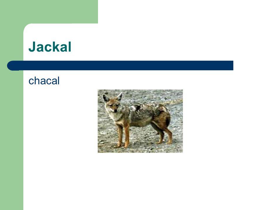 Jackal chacal