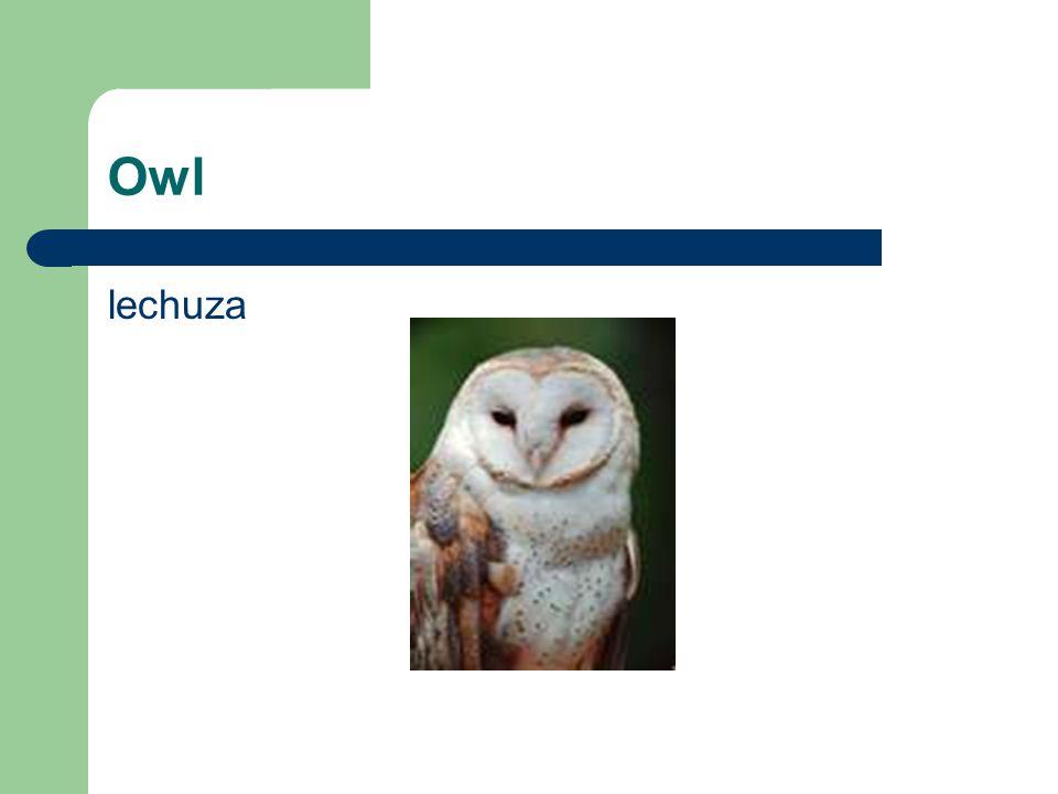 Owl lechuza