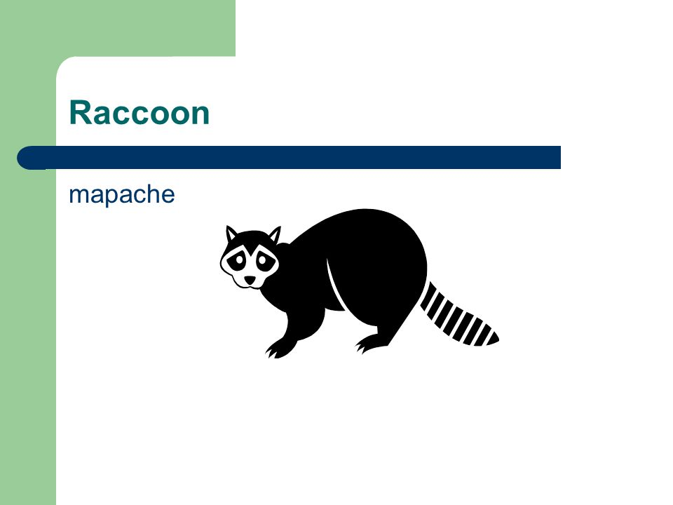 Raccoon mapache