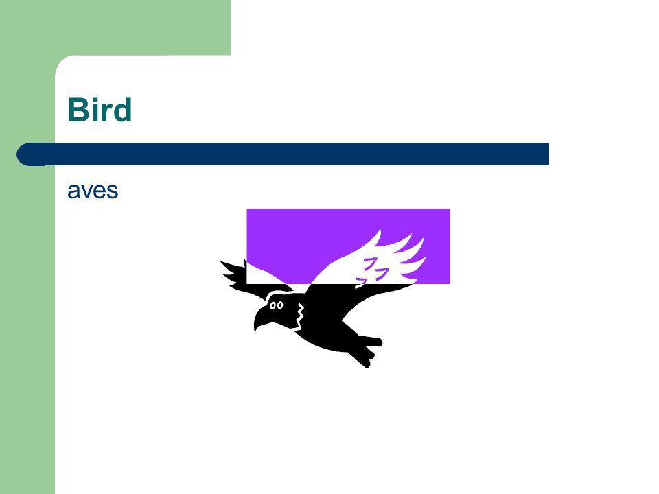 Bird aves