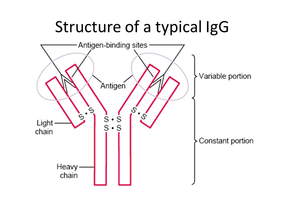 Structure of a typical IgG