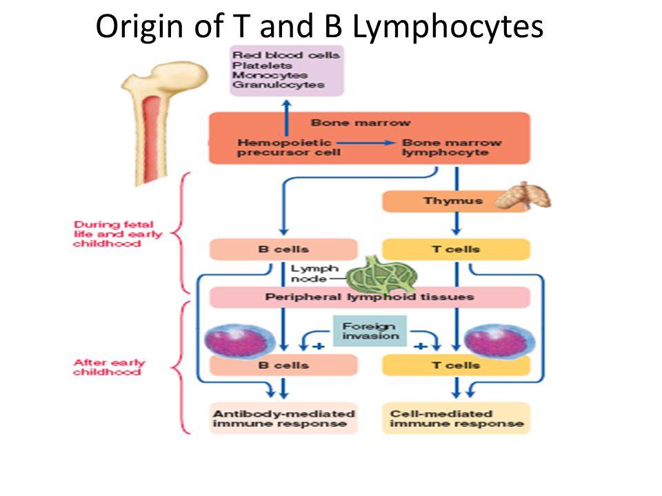 Lymphoid Tissue Bone marrow Thymus Tonsils and Adenoids Spleen Lymph node Gut associated lymphoid tissue(GALT) e.g.