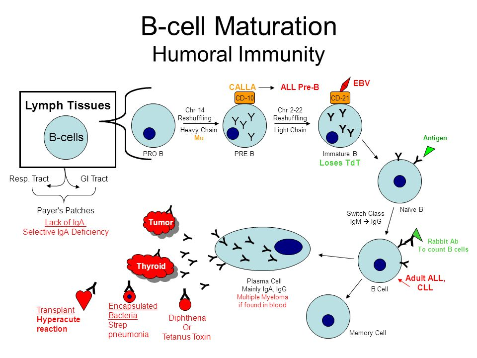 B-cell Maturation Humoral Immunity Lymph Tissues Resp.