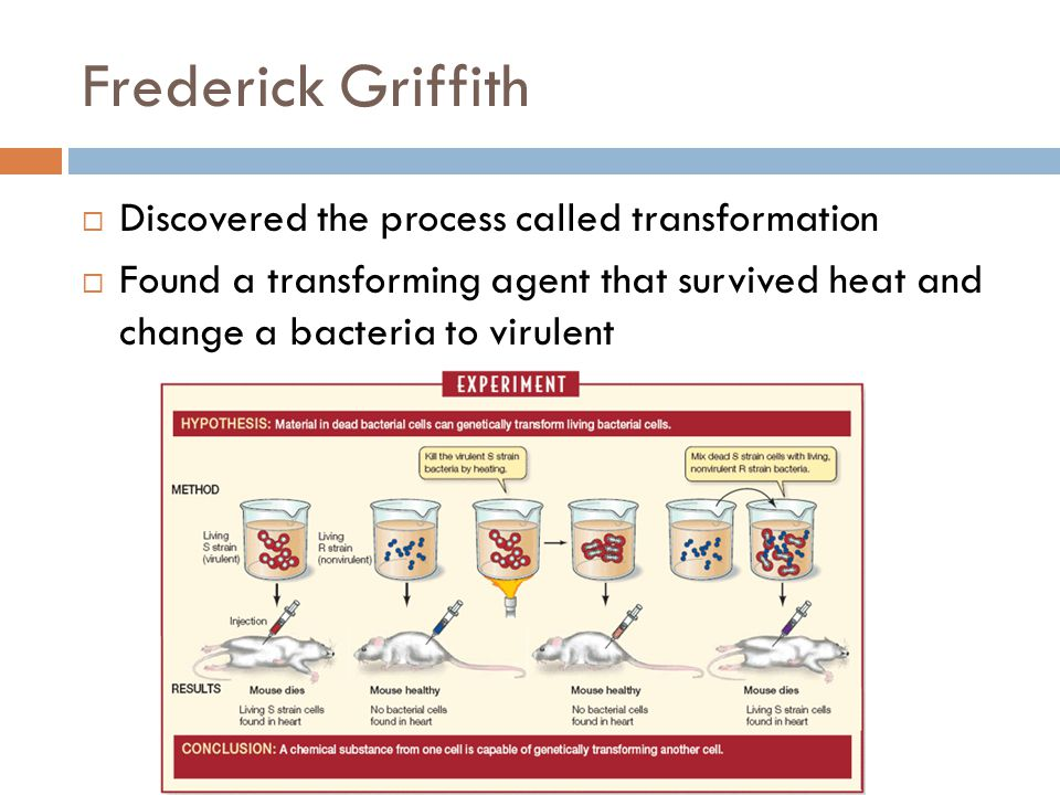 Frederick Griffith  Discovered the process called transformation  Found a transforming agent that survived heat and change a bacteria to virulent
