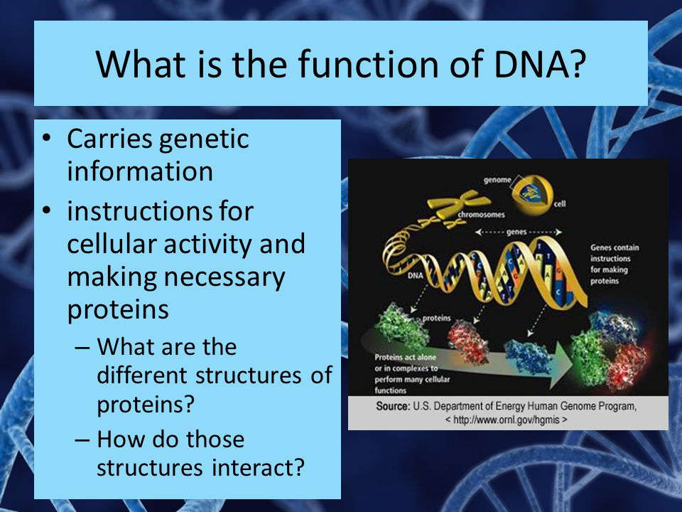 What is the function of DNA? Carries genetic information instructions for cellular activity and making necessary proteins – What are the different str