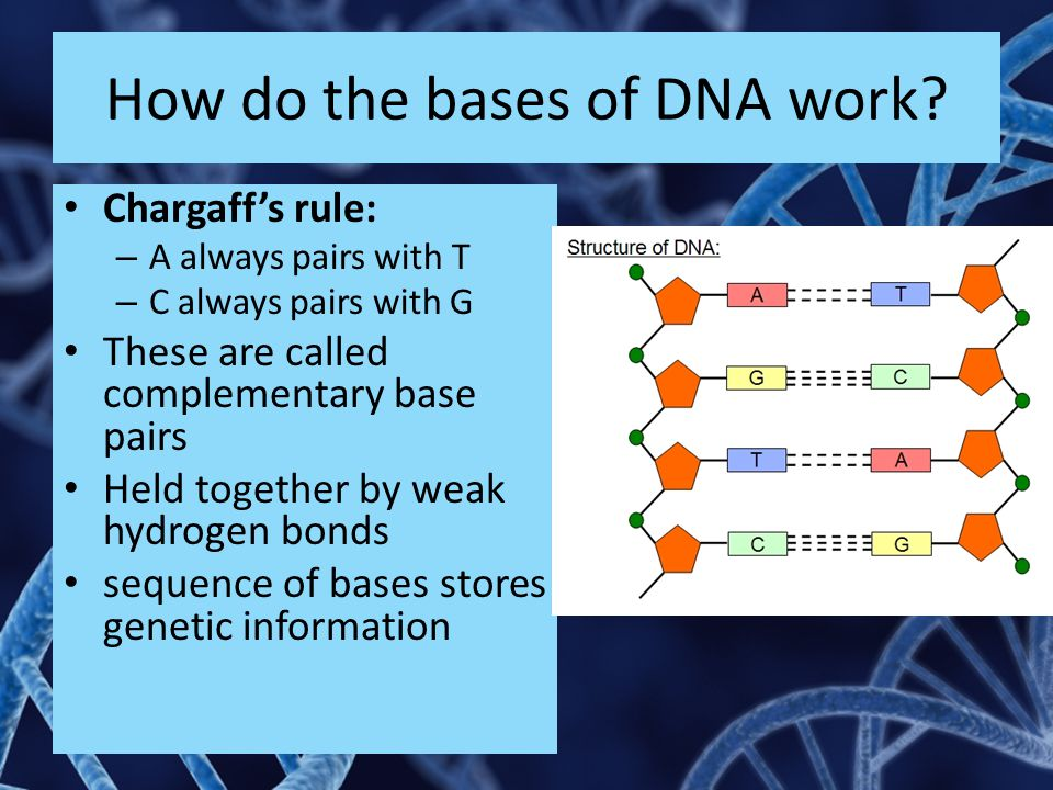 How do the bases of DNA work.