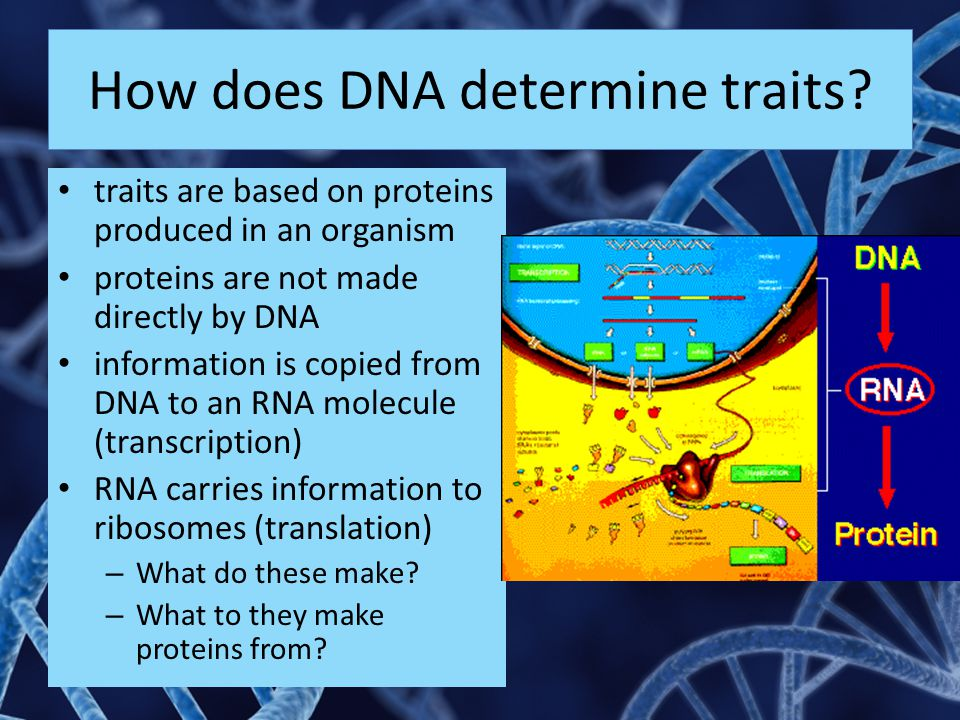 How does DNA determine traits? traits are based on proteins produced in an organism proteins are not made directly by DNA information is copied from D