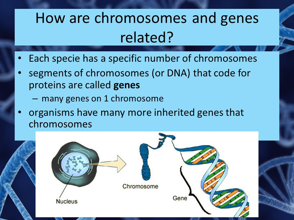 How are chromosomes and genes related.