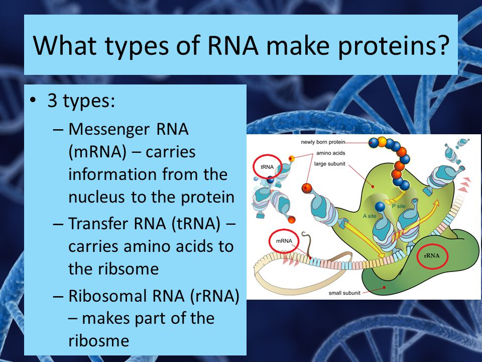 What types of RNA make proteins? 3 types: – Messenger RNA (mRNA) – carries information from the nucleus to the protein – Transfer RNA (tRNA) – carries
