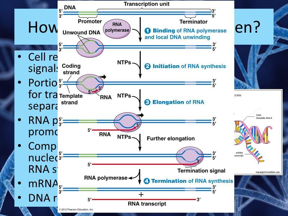 How does transcription happen? Cell releases chemical signals to start transcription Portion of DNA to be used for transcription is separated RNA poly