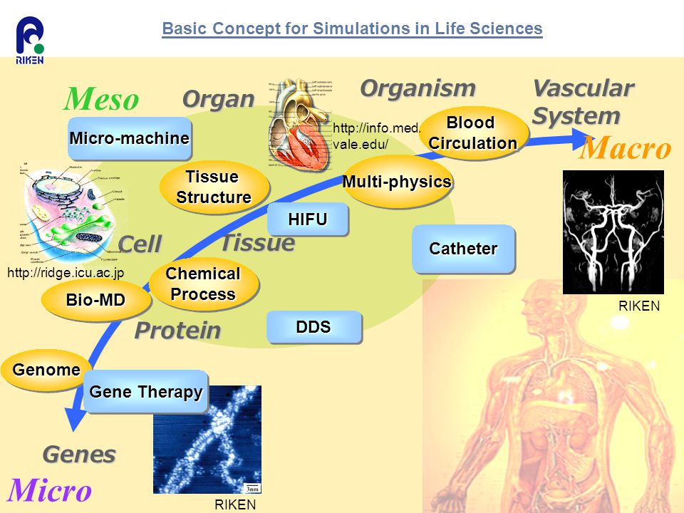 Basic Concept for Simulations in Life Sciences Genes VascularSystemOrganism Organ Tissue Cell Protein GenomeGenome Bio-MDBio-MD Tissue Structure Multi-physicsMulti-physics ChemicalProcessChemicalProcess BloodCirculationBloodCirculation DDSDDS Gene Therapy HIFUHIFU Micro-machineMicro-machine CatheterCatheter Micro Meso Macro http://ridge.icu.ac.jp http://info.med.