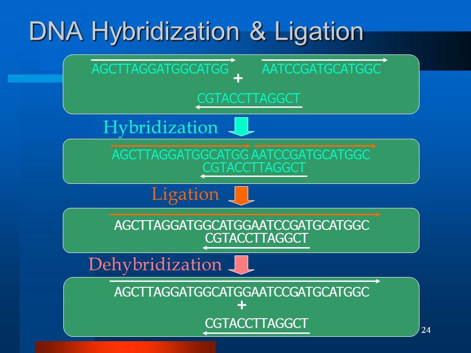(C) 2002, SNU Biointelligence Lab, http://bi.snu.ac.kr/24 DNA Hybridization & Ligation CGTACCTTAGGCT AGCTTAGGATGGCATGGAATCCGATGCATGGC CGTACCTTAGGCT AGCTTAGGATGGCATGGAATCCGATGCATGGC CGTACCTTAGGCT AGCTTAGGATGGCATGGAATCCGATGCATGGC CGTACCTTAGGCT AGCTTAGGATGGCATGGAATCCGATGCATGGC + + Ligation Hybridization Dehybridization