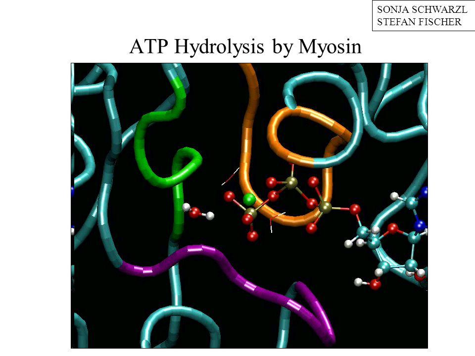 ATP Hydrolysis by Myosin SONJA SCHWARZL STEFAN FISCHER