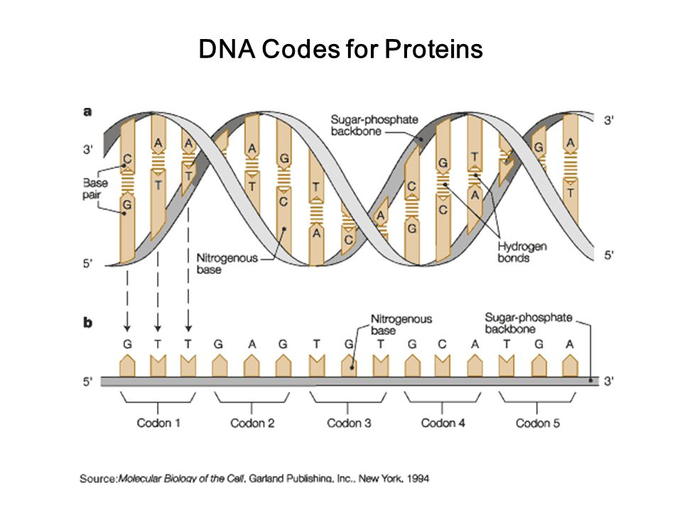 DNA Codes for Proteins