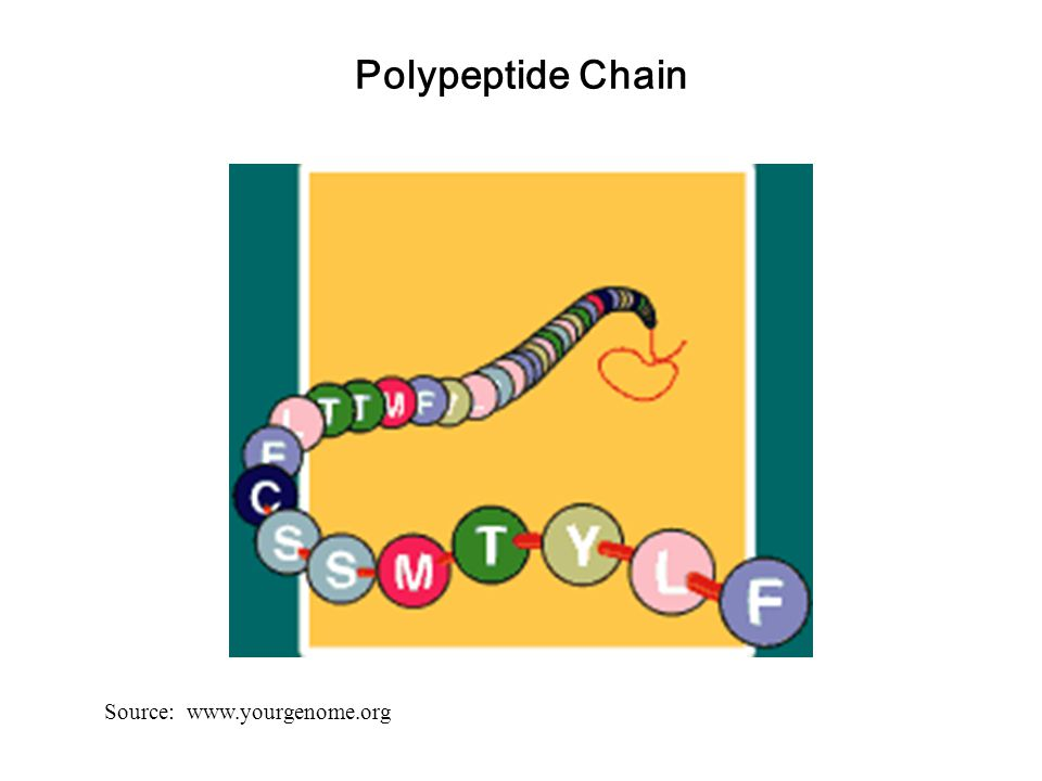 Polypeptide Chain Source: www.yourgenome.org