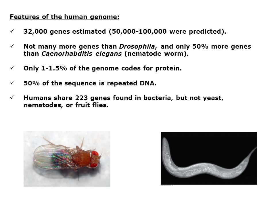 Features of the human genome: 32,000 genes estimated (50,000-100,000 were predicted). Not many more genes than Drosophila, and only 50% more genes tha
