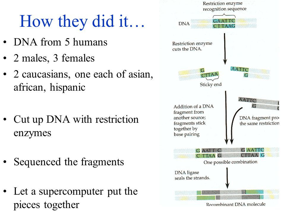 How they did it… DNA from 5 humans 2 males, 3 females 2 caucasians, one each of asian, african, hispanic Cut up DNA with restriction enzymes Sequenced the fragments Let a supercomputer put the pieces together