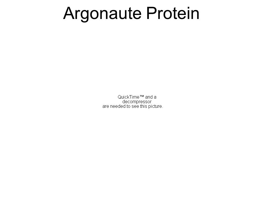 Argonaute Protein