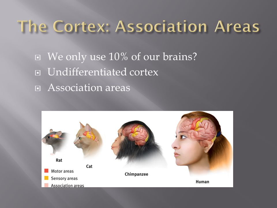  We only use 10% of our brains?  Undifferentiated cortex  Association areas