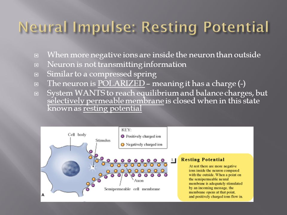 When more negative ions are inside the neuron than outside  Neuron is not transmitting information  Similar to a compressed spring  The neuron is POLARIZED – meaning it has a charge (-)  System WANTS to reach equilibrium and balance charges, but selectively permeable membrane is closed when in this state known as resting potential