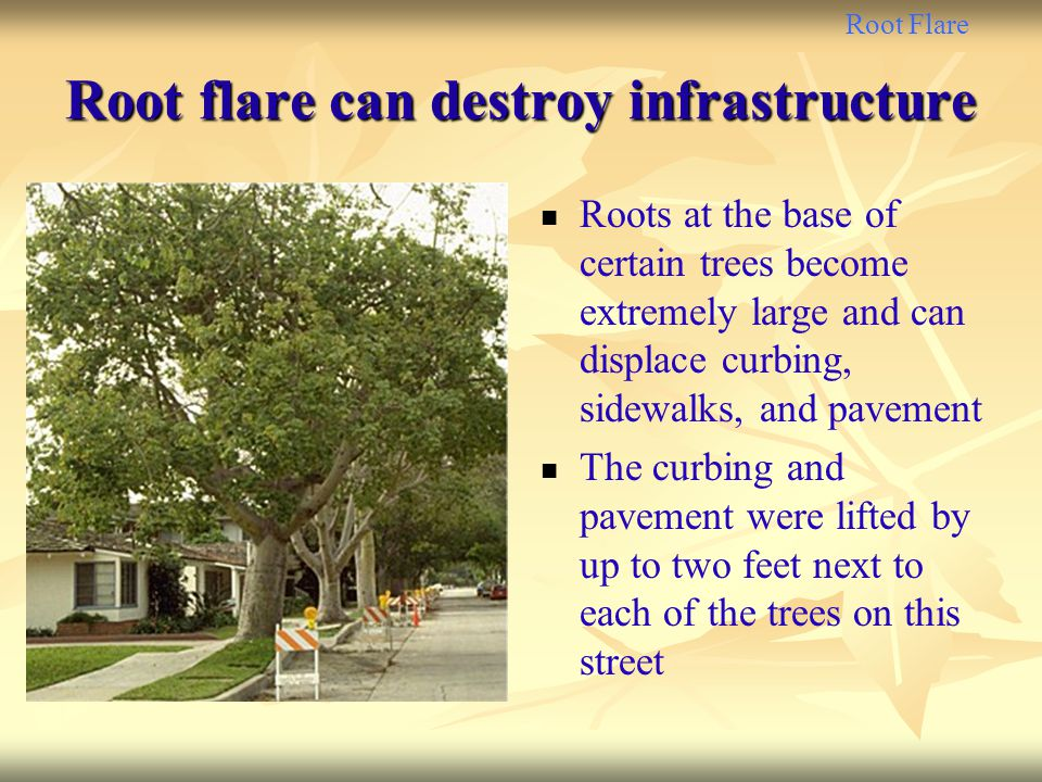 Root Flare Root flare can destroy infrastructure Roots at the base of certain trees become extremely large and can displace curbing, sidewalks, and pa