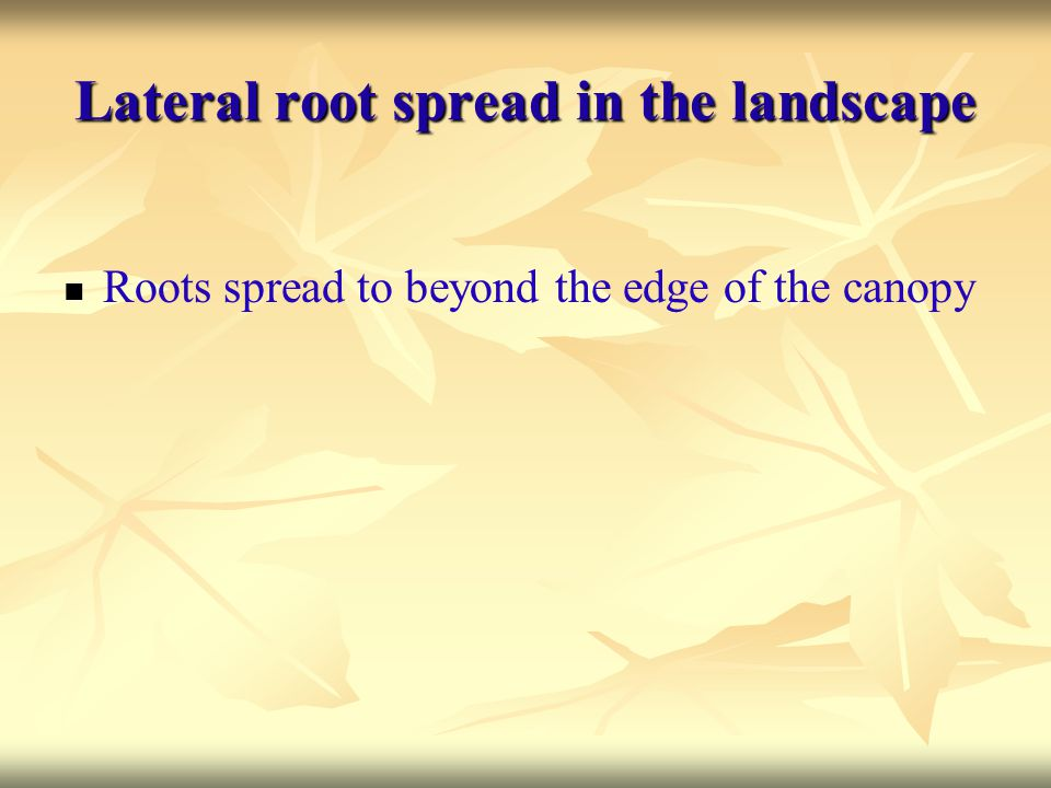 Lateral root spread in the landscape Roots spread to beyond the edge of the canopy
