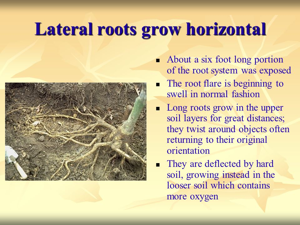 Lateral roots grow horizontal About a six foot long portion of the root system was exposed The root flare is beginning to swell in normal fashion Long