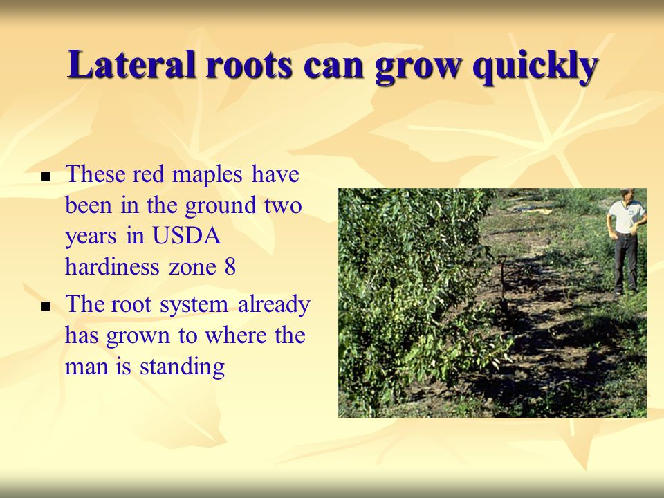 Lateral roots can grow quickly These red maples have been in the ground two years in USDA hardiness zone 8 The root system already has grown to where