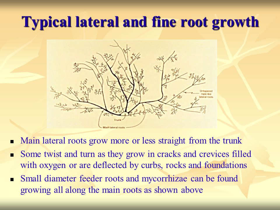 Typical lateral and fine root growth Main lateral roots grow more or less straight from the trunk Some twist and turn as they grow in cracks and crevi