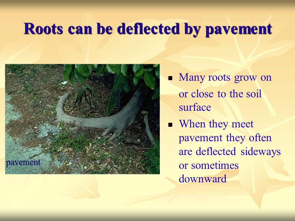 Roots can be deflected by pavement Many roots grow on or close to the soil surface When they meet pavement they often are deflected sideways or someti