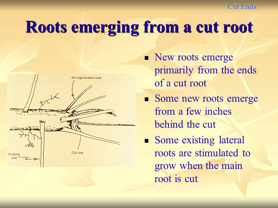 Cut Ends Roots emerging from a cut root New roots emerge primarily from the ends of a cut root Some new roots emerge from a few inches behind the cut