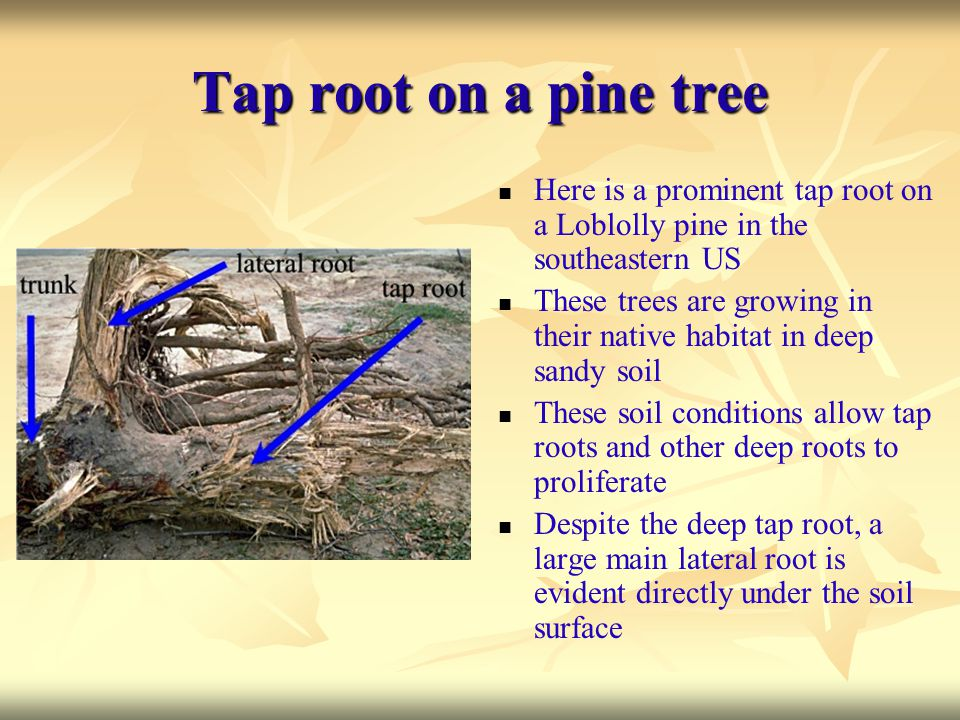 Tap root on a pine tree Here is a prominent tap root on a Loblolly pine in the southeastern US These trees are growing in their native habitat in deep