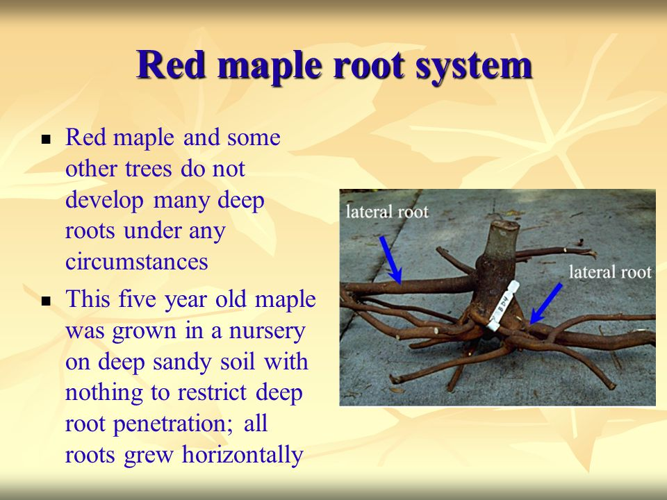 Red maple root system Red maple and some other trees do not develop many deep roots under any circumstances This five year old maple was grown in a nu