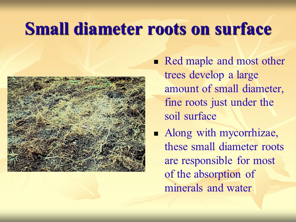 Small diameter roots on surface Red maple and most other trees develop a large amount of small diameter, fine roots just under the soil surface Along