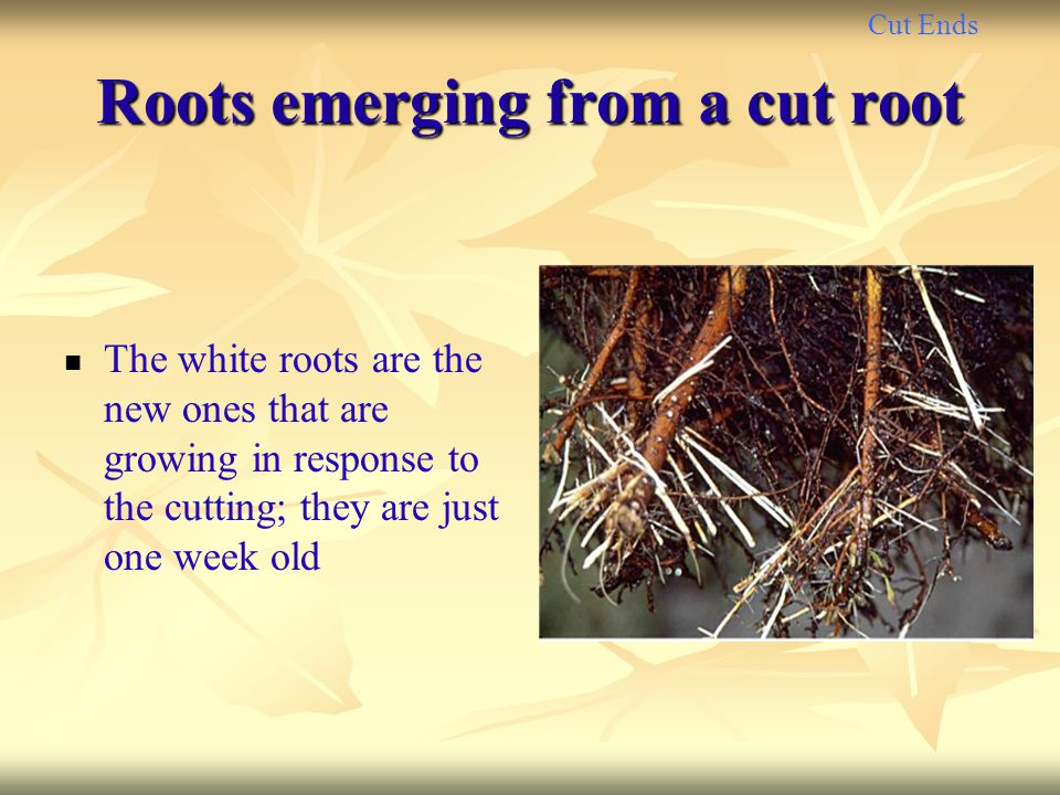 Cut Ends Roots emerging from a cut root The white roots are the new ones that are growing in response to the cutting; they are just one week old