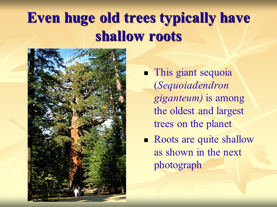 Even huge old trees typically have shallow roots This giant sequoia (Sequoiadendron giganteum) is among the oldest and largest trees on the planet Roo
