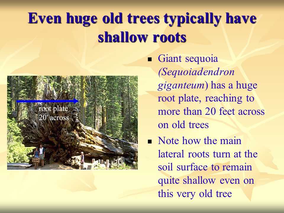 Even huge old trees typically have shallow roots Giant sequoia (Sequoiadendron giganteum) has a huge root plate, reaching to more than 20 feet across