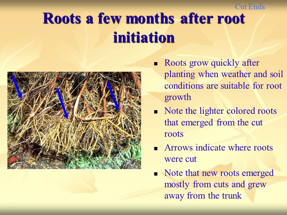 Cut Ends Roots a few months after root initiation Roots grow quickly after planting when weather and soil conditions are suitable for root growth Note