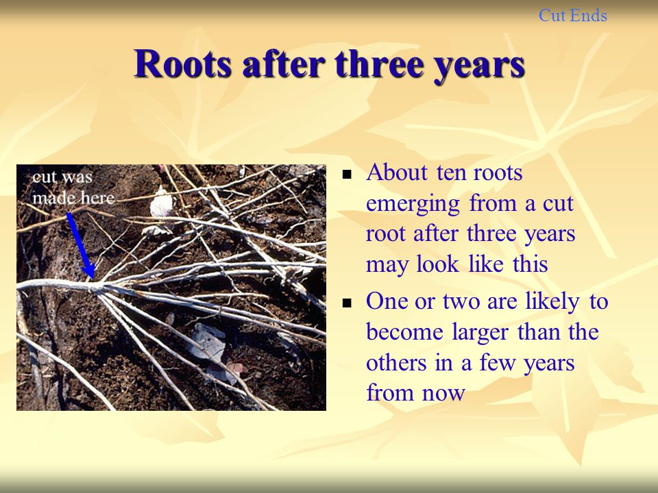 Cut Ends Roots after three years About ten roots emerging from a cut root after three years may look like this One or two are likely to become larger