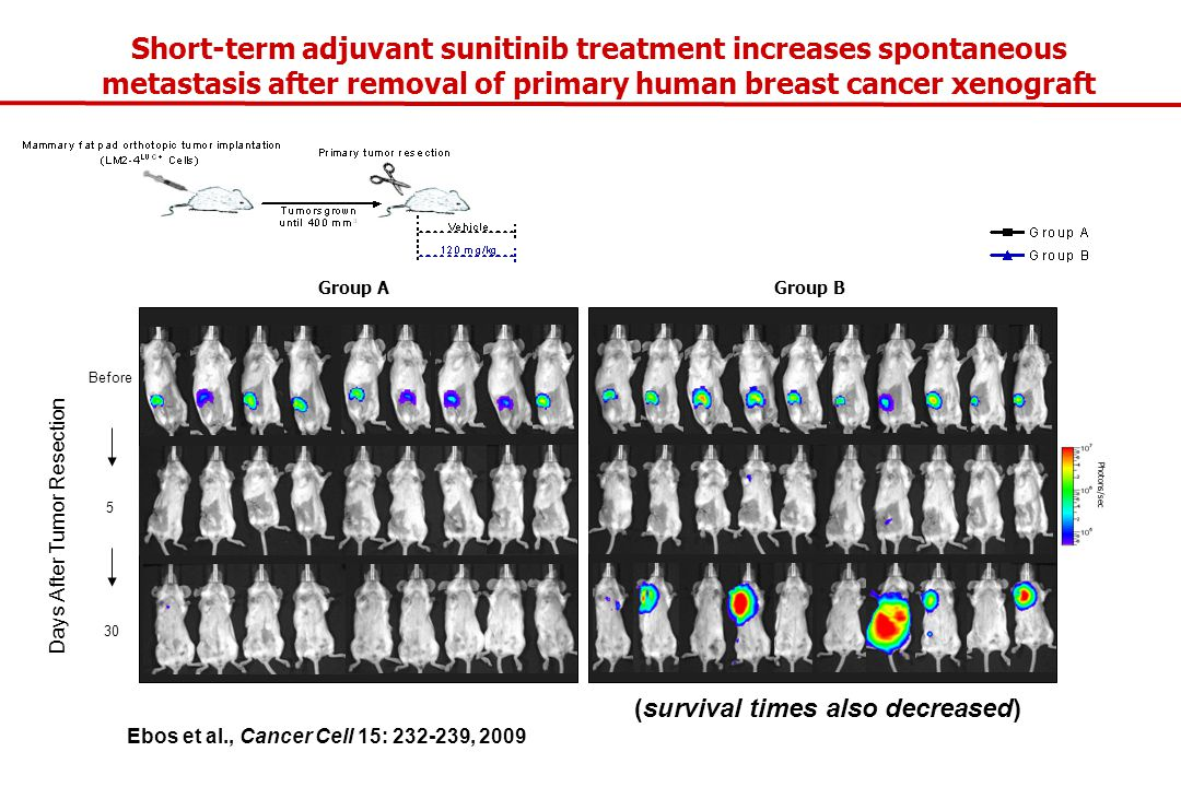 Short-term adjuvant sunitinib treatment increases spontaneous metastasis after removal of primary human breast cancer xenograft 5 Before 30 Group A Group B Days After Tumor Resection Photons/sec Ebos et al., Cancer Cell 15: 232-239, 2009 (survival times also decreased)