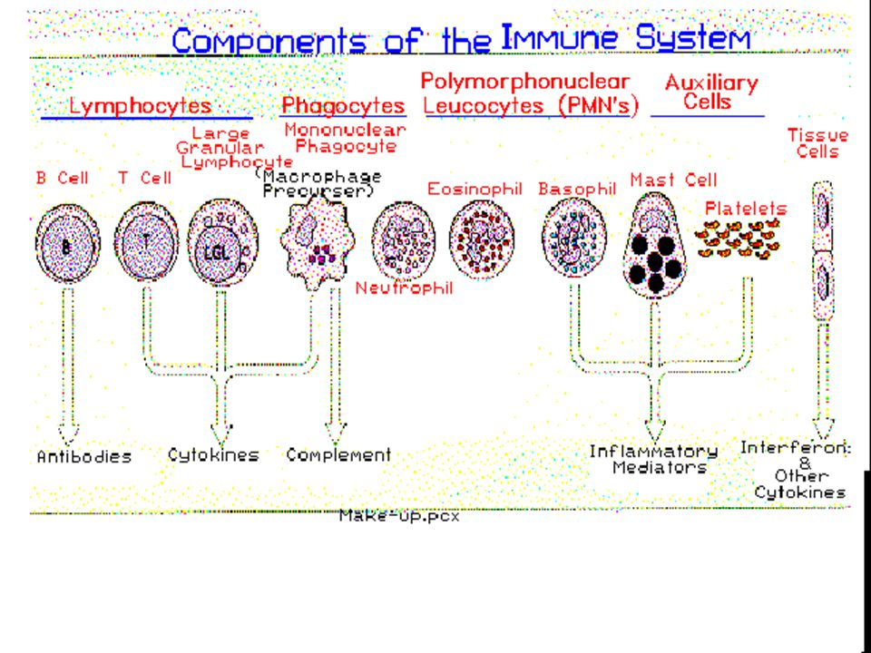 Components of Immune System (MakeUp)