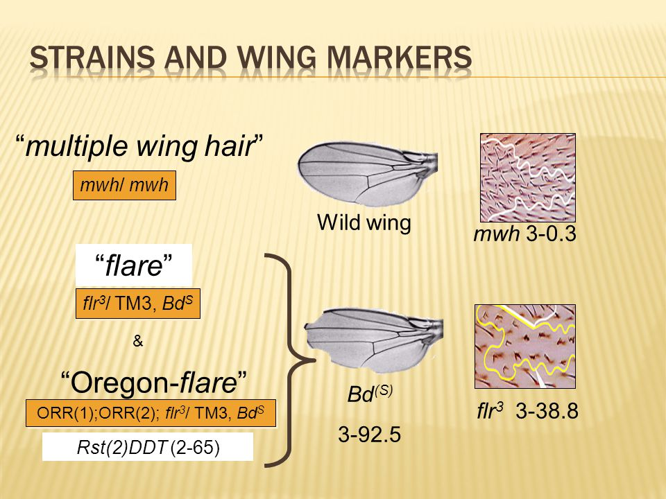 "Wild wing Bd (S) 3-92.5 mwh 3-0.3 flr 3 3-38.8 ""multiple wing hair"" ""flare"" ""Oregon-flare"" & Rst(2)DDT (2-65) mwh/ mwh flr 3 / TM3, Bd S ORR(1);ORR(2)"