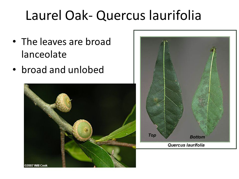 Laurel Oak- Quercus laurifolia The leaves are broad lanceolate broad and unlobed