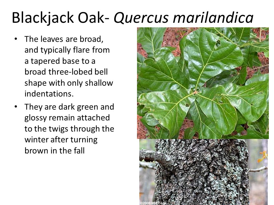 Blackjack Oak- Quercus marilandica The leaves are broad, and typically flare from a tapered base to a broad three-lobed bell shape with only shallow indentations.