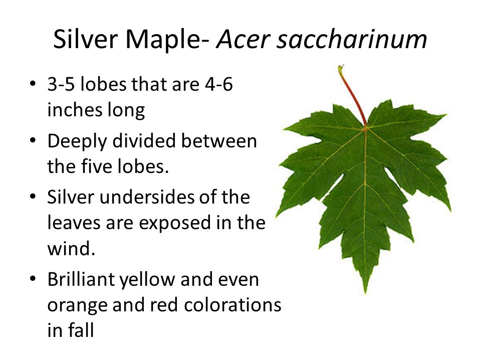 Silver Maple- Acer saccharinum 3-5 lobes that are 4-6 inches long Deeply divided between the five lobes. Silver undersides of the leaves are exposed i