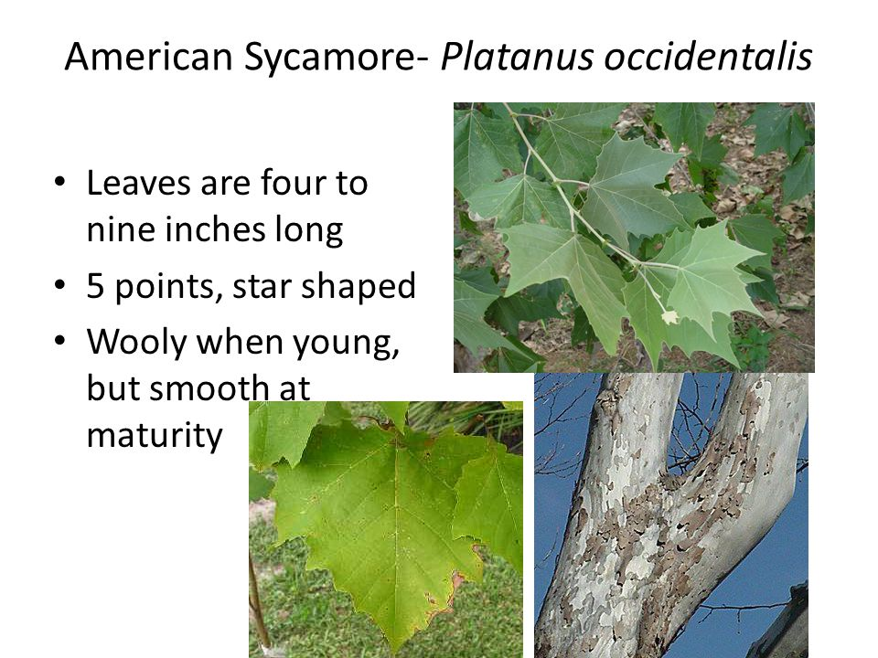 American Sycamore- Platanus occidentalis Leaves are four to nine inches long 5 points, star shaped Wooly when young, but smooth at maturity