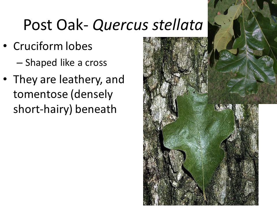 Post Oak- Quercus stellata Cruciform lobes – Shaped like a cross They are leathery, and tomentose (densely short-hairy) beneath