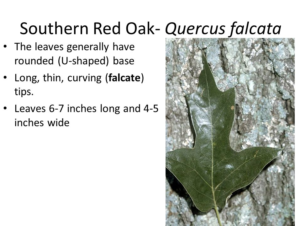 Southern Red Oak- Quercus falcata The leaves generally have rounded (U-shaped) base Long, thin, curving (falcate) tips. Leaves 6-7 inches long and 4-5