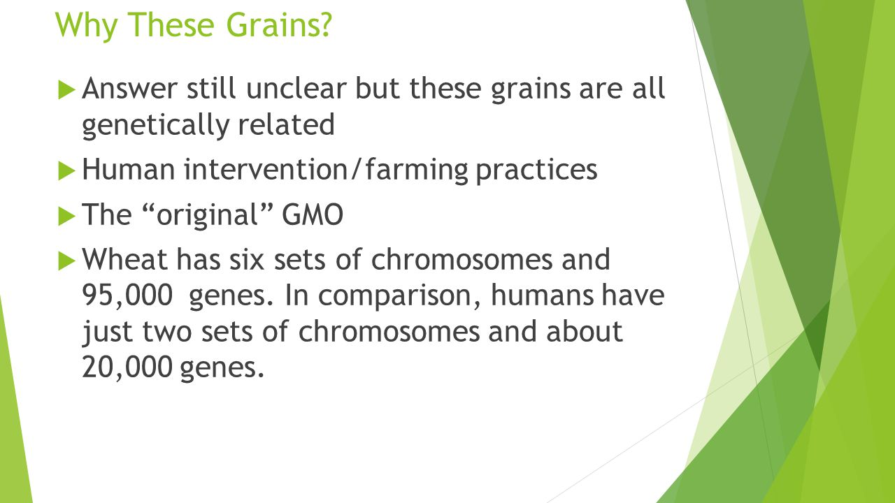 "Why These Grains?  Answer still unclear but these grains are all genetically related  Human intervention/farming practices  The ""original"" GMO  Wh"